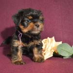 купить щенка йоркширского терьера