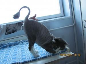 стрижка кошки фото
