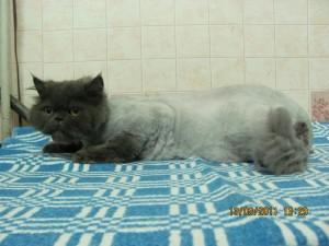 стрижка кота фото